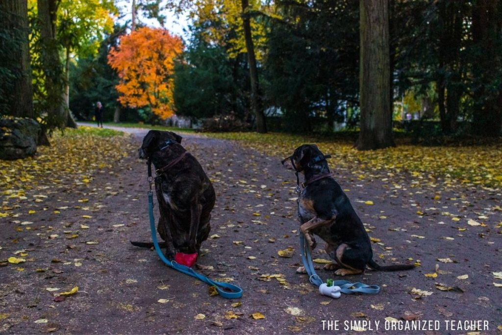 Two dogs sitting on a walking path in a park.